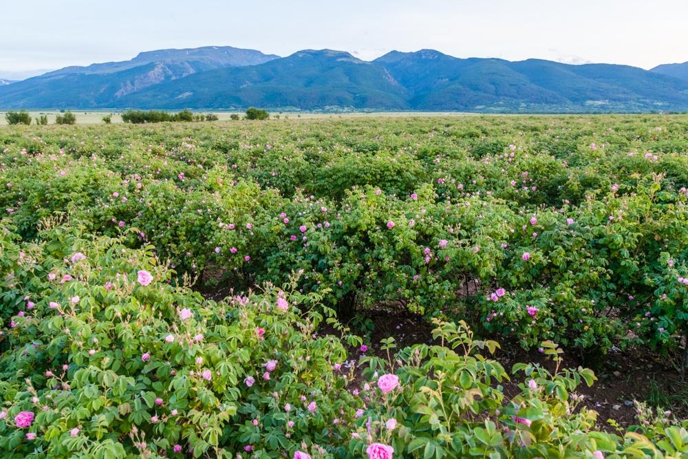 Розовата долина в Казанлък