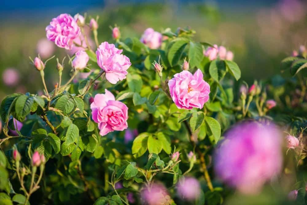 Розата е царицата на цветята