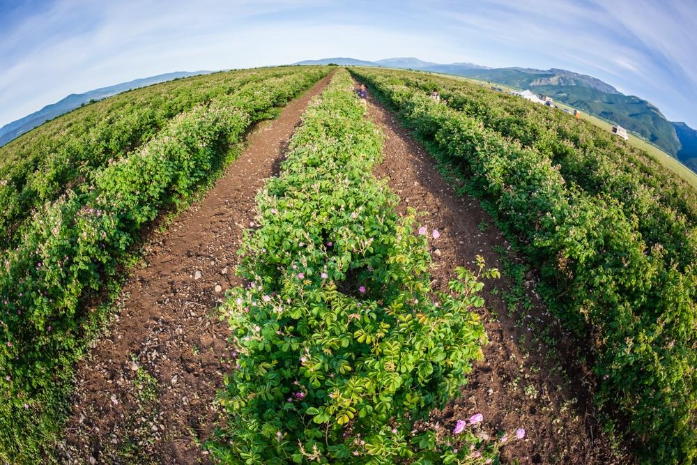 Розовите градини за най-качественото розово масло
