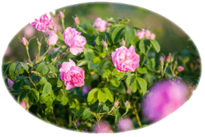 Българска роза - съкровището на ароматерапията
